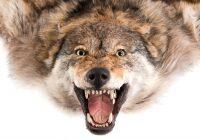 Ковёр из шкуры волка (европейский серый)